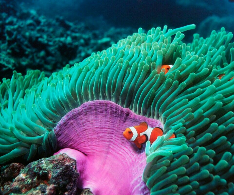 Lg Optimus 2x Default Wallpaper 15: Anemone And Clownfish