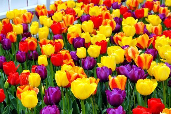 Tulip Jumbo Darwin Mix Tulip Bulbs Tulip Bulbs For Sale Tulips