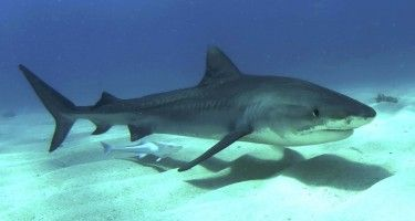 A recent study sought to understand why shark teeth are shaped differently and what biological advantages various shapes have by testing their performance under realistic conditions.