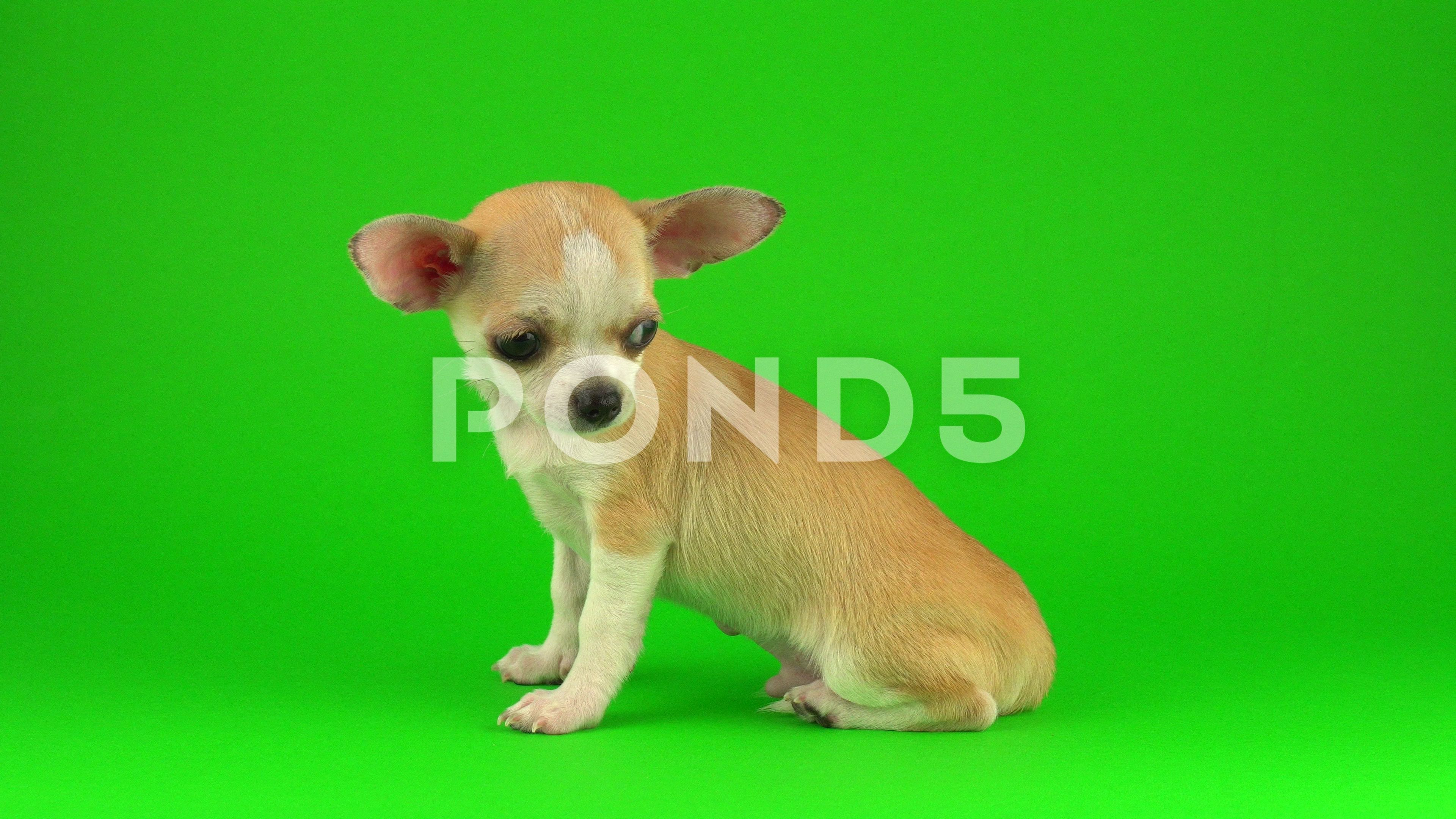 Cute Puppy Chihuahua Dog On Green Screen Background Stock Footage