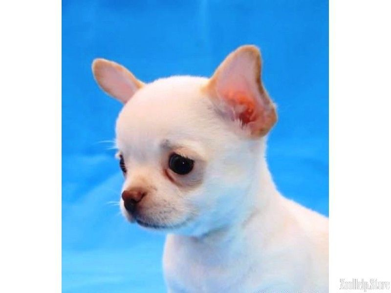Chihuahua Houston You Will Not Find A Better Puppy 22