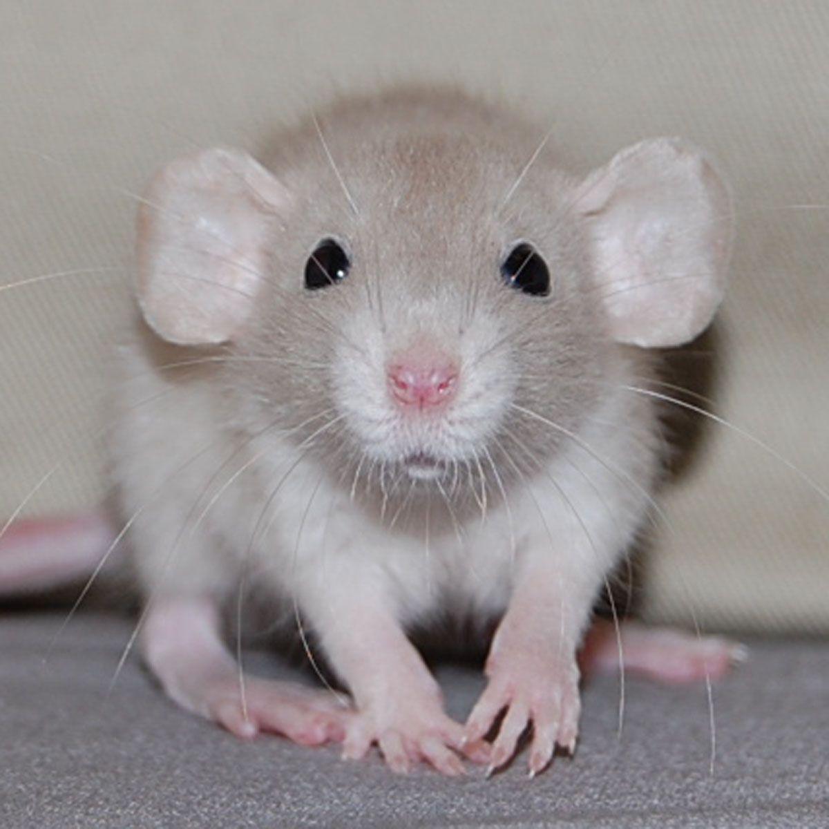 adorable | Animals - World of Rats | Dumbo rat, Rats, Pet rats | 1200 x 1200 jpeg 150kB