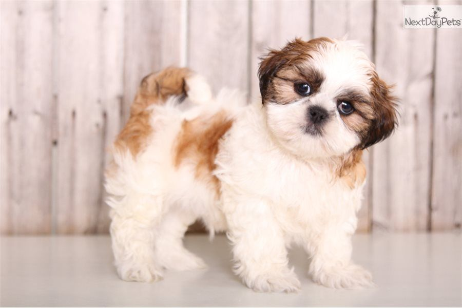 Baxter Shih Tzu Puppy For Sale Near Columbus Ohio Dae1835a 52c1 Shih Tzu Puppy Shih Tzu Puppies