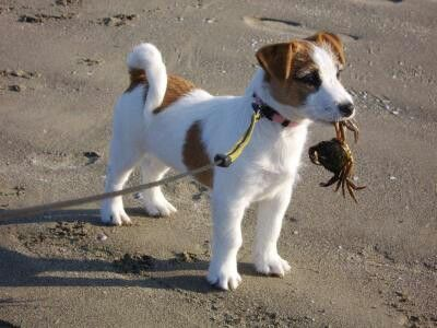 So Cute Jack Russell Puppies Jack Russell Dogs Jack Russell Terrier