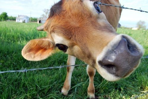 Excuse me... Cute cows, Animals beautiful, Cute animals