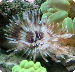 Hawaiian Feather Duster Giant Feather Duster Sabellastarte Spp Saltwater Aquarium Saltwater Tank Saltwater