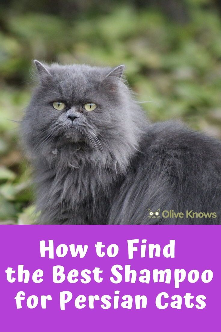 How to Find the Best Shampoo for Persian Cats Cat