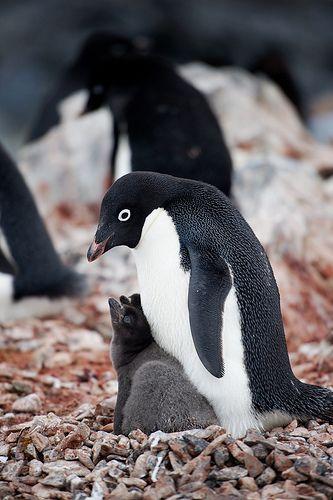 Adopt a penguin with WWF-UK today: http://www.wwf.org.uk/adoption/penguin/?utm_source=pinterest&utm_medium=social&utm_campaign=adoption&pc=ANZ008010
