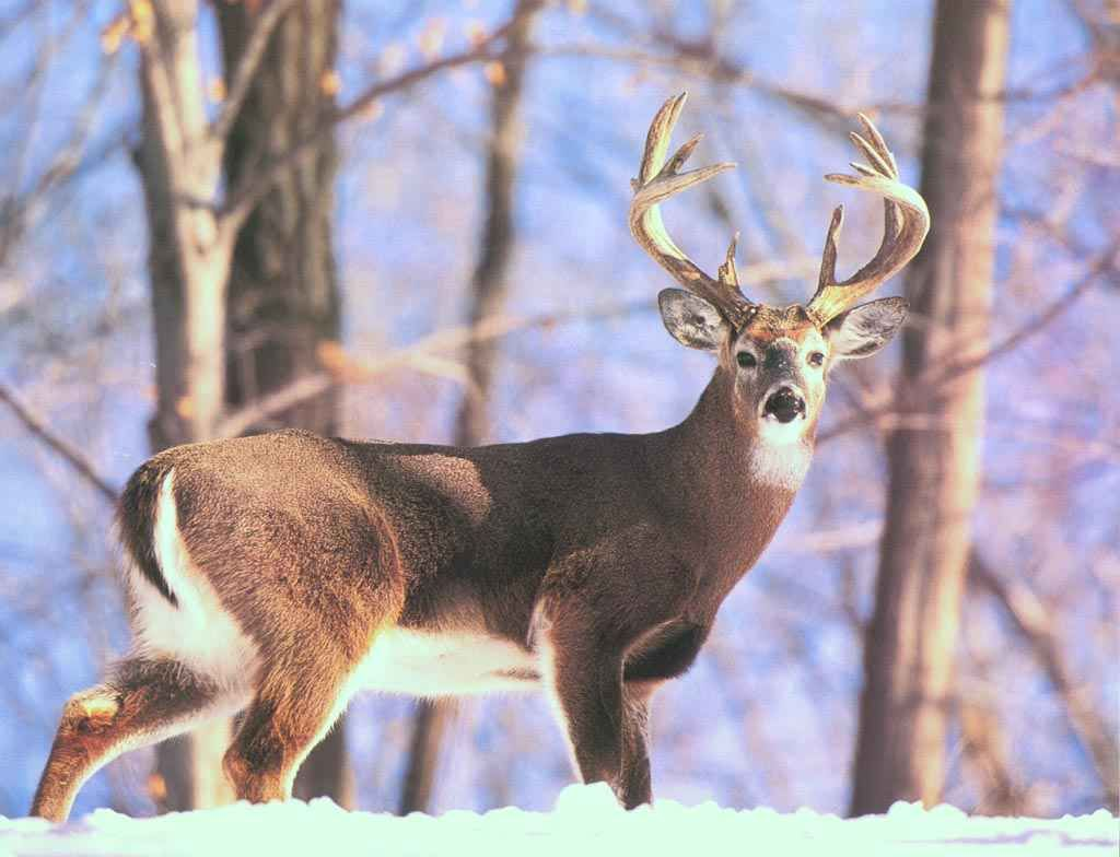 SCI Foundation Helps Manage Whitetailed Winter Habitat