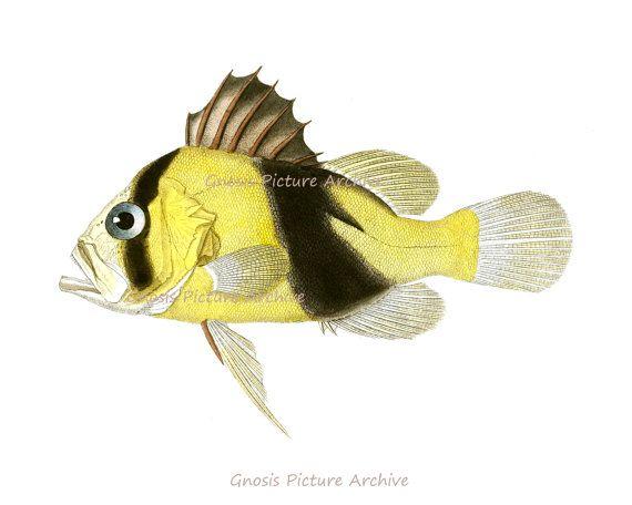 Antique Fish Print No.10 Yellow Tropical coral reef fish Wall Art ...