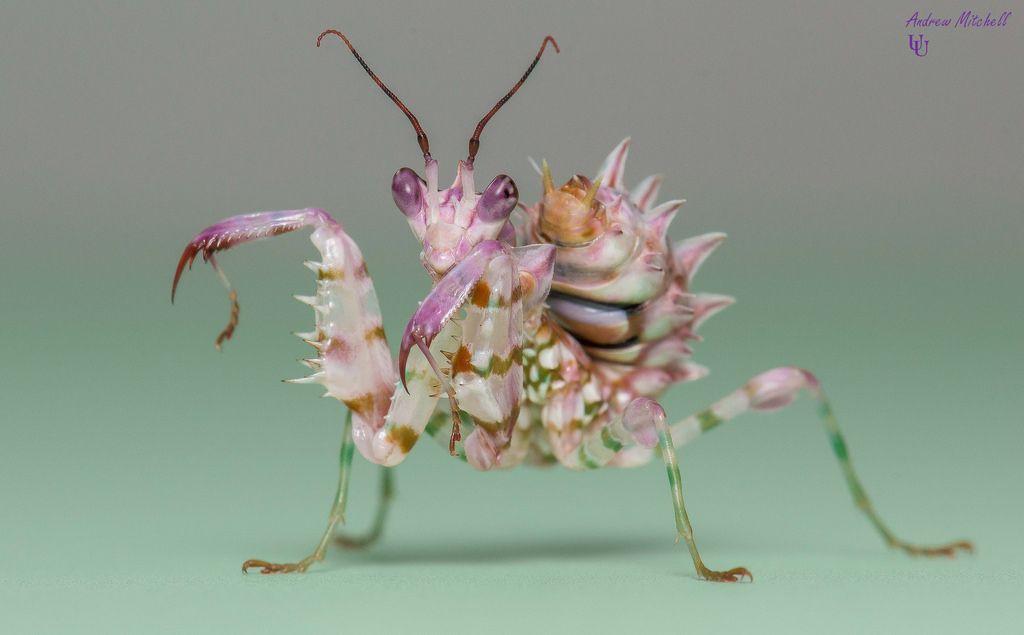 Harlequin Mantis With Greentracks