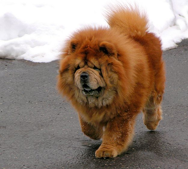 Extrapuffy Puppy Big Walking Outside Www Kurgo Com Chow Chow