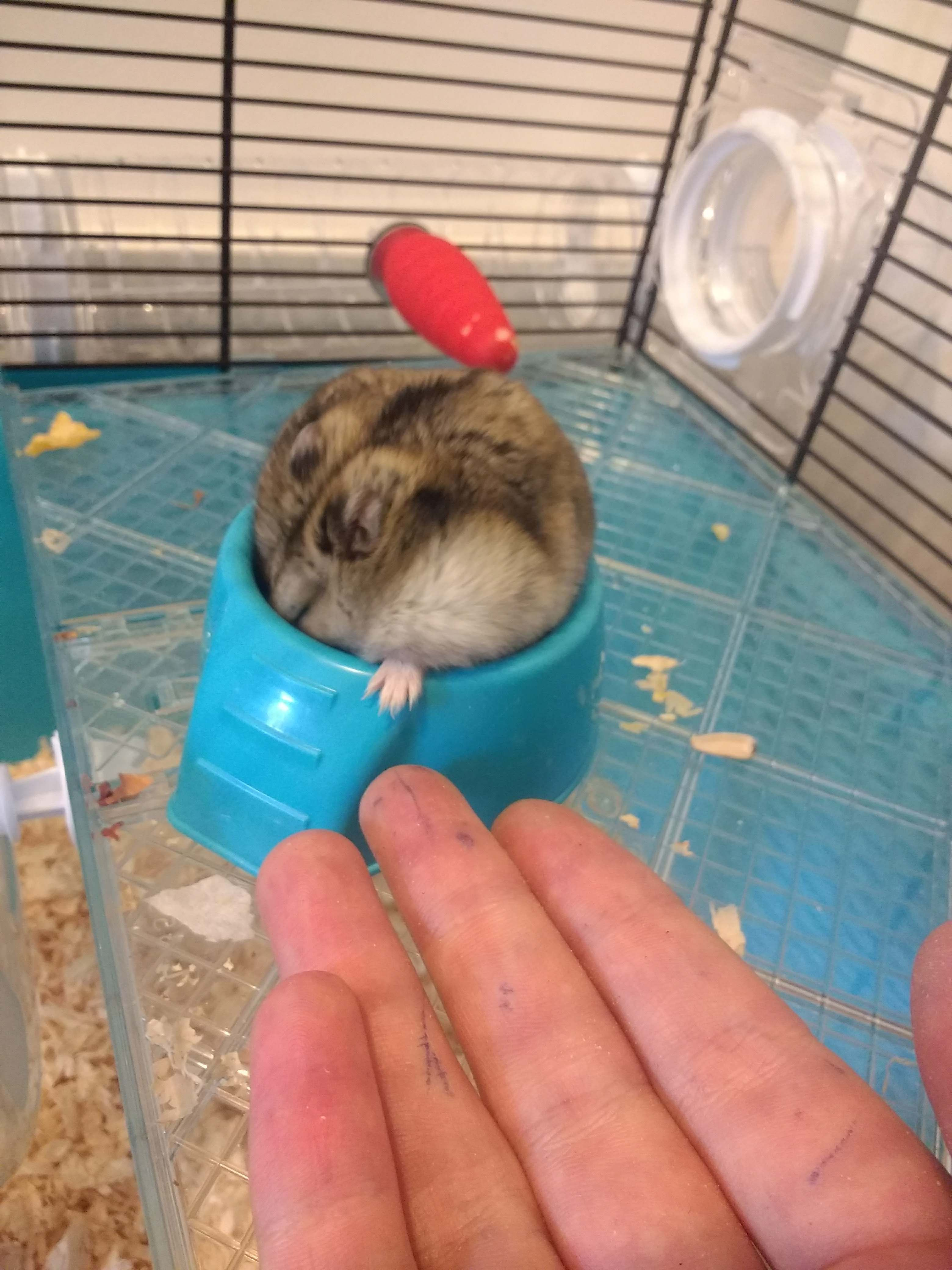 Pin by marvelhere on all dogs pinterest russian dwarf hamster