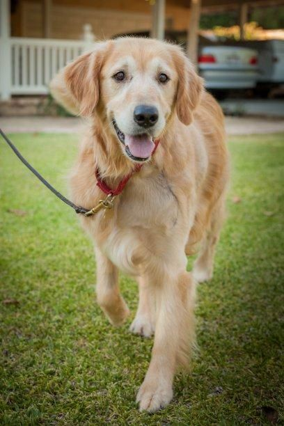 Adopt Orla On Dogs Golden Retriever Golden Retriever Rescue