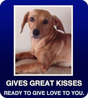 Morrisville, PA - Dachshund Mix. Meet Missy, a puppy for adoption. http://www.adoptapet.com/pet/11313974-morrisville-pennsylvania-dachshund-mix