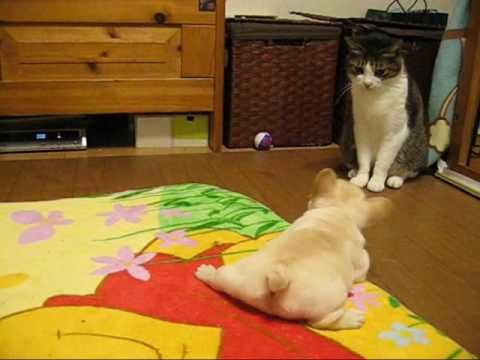 Cute French Bulldog Puppies With Momma Bulldog And Cat Cute