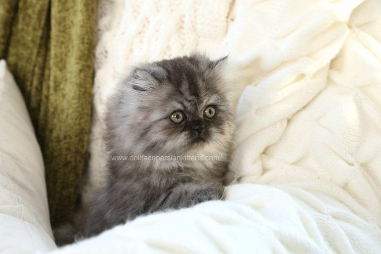 Hocus Pocus Black Smoke Male Doll Face Persian Kitten Available Persian Kittens Beautiful Kittens Persian Kittens For Sale