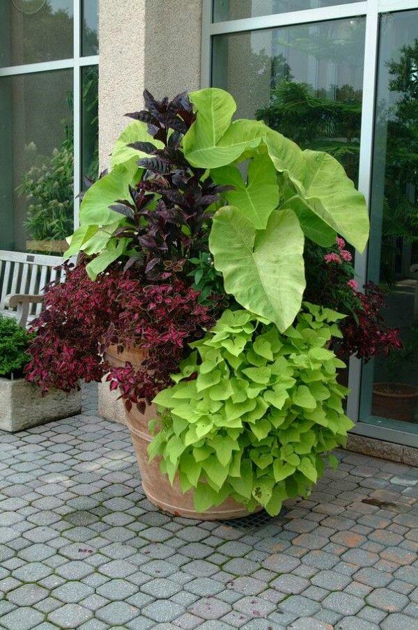 Awesome potted plant idea #elephantearsandtropicals