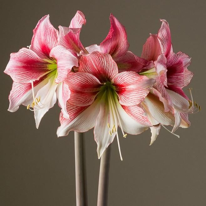 Allium Ampeloprasum Amaryllis Bulbs Amaryllis Amaryllis Flowers