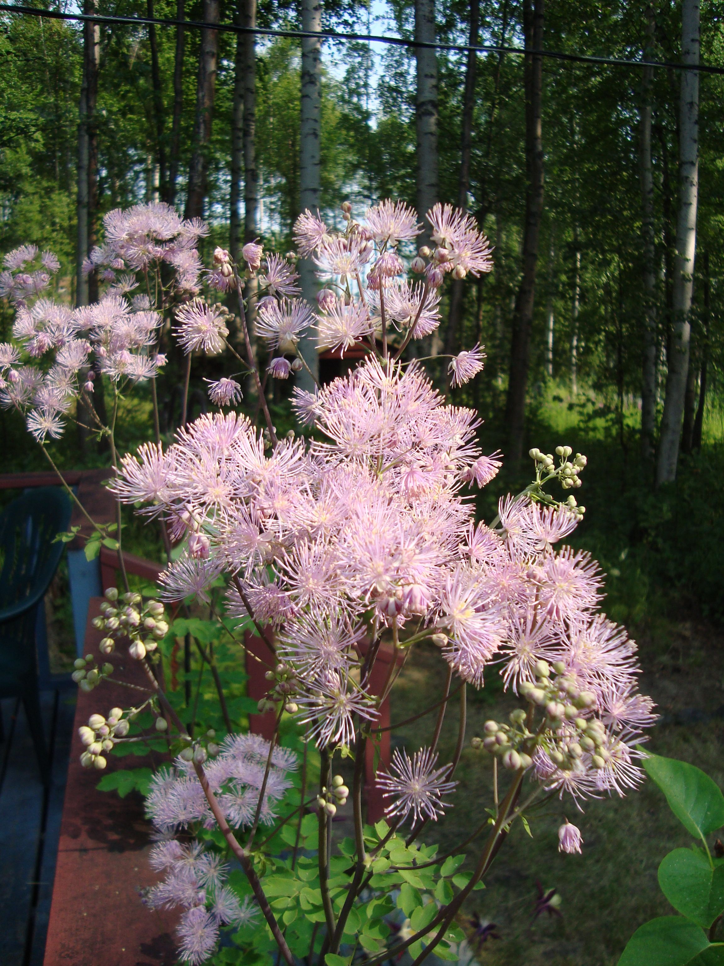 Meadow Rue This Tall Plant With Fluffy Flowers Adds Height To The