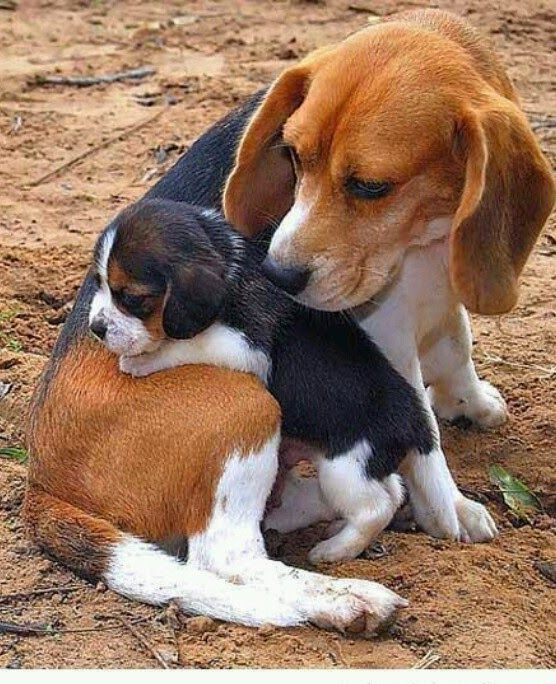 5 Most Popular Dog Breeds In The Usa Baby Beagle Cute Animals Dogs