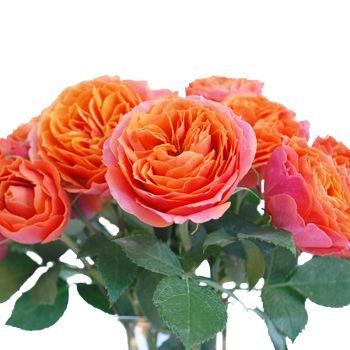 Coral Garden Rose 4 bunches (10 stems for bunch) for $109. hot pink orange garden