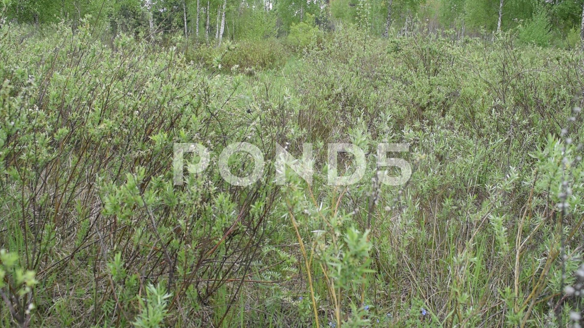 A Lot Of Greenery And Birch In Nature Stock Footage Ad Birch Greenery Lot Footage Nature Nature Hd Stock Footage