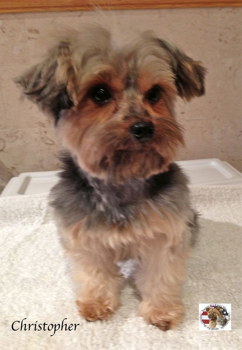 Adopt Christopher On Yorkshire Terrier Yorkshire Terrier Dog Third Baby