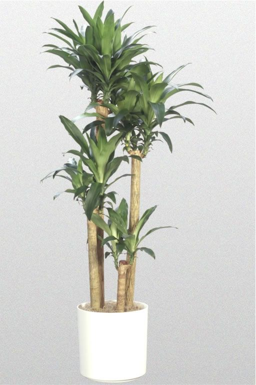 dracaena fragrans massangeana office greenery pinterest plants cool plants and corn plant. Black Bedroom Furniture Sets. Home Design Ideas