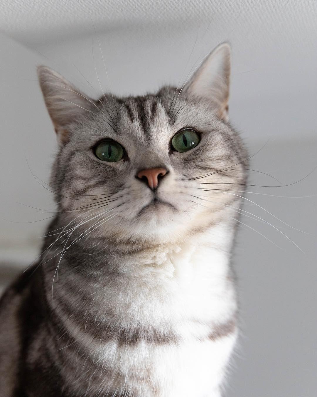 American Shorthair Cat In 2020 American Shorthair Cat American Shorthair Kitten British Shorthair Cats