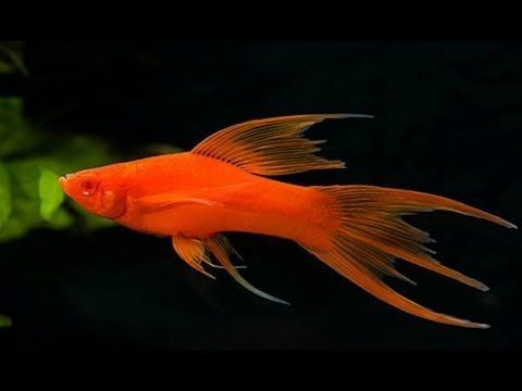 Меченосец – это рыбка, известная практически каждому ...