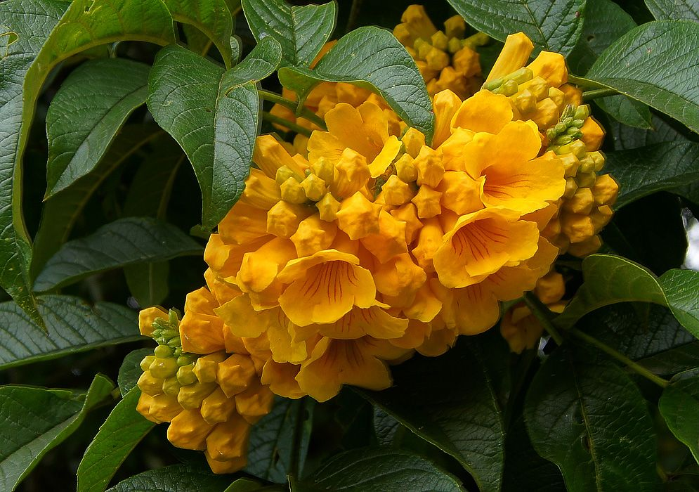 Photos of Colombia Flowers, stans Flowering