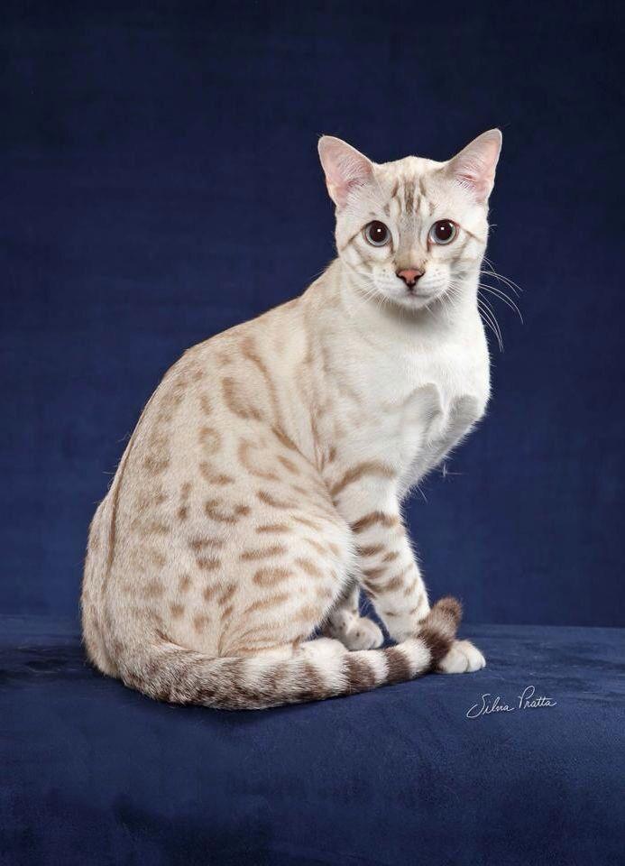Bengal cats milton fl