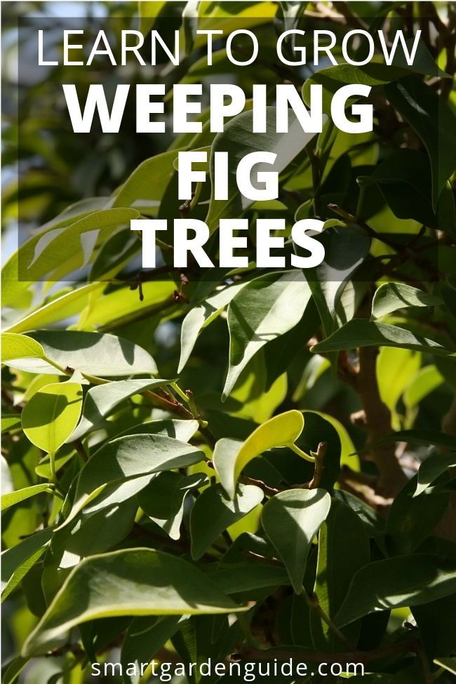 How To Care For A Weeping Fig Ficus Benjamina Ficus Benjamina