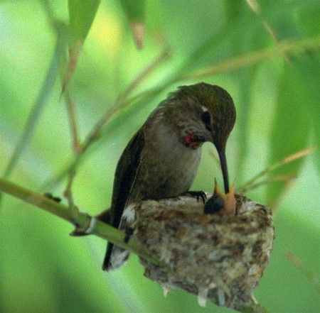 Hummingbird and chick- I had a hummingbird nest right ...