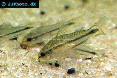 Tips And Discussion On Caring For Dwarf Corydoras Corydoras Pygmaeus Aquarium Fish Fish Plants Beautiful Fish
