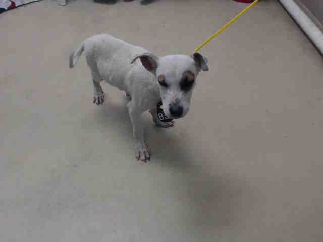 03/18/16--HOUSTON- -EXTREMELY HIGH KILL FACILITY - This DOG - ID#A454960 I am a male, white and brown Labrador Retriever. The shelter staff think I am about 13 weeks old. I have been at the shelter since Mar 18, 2016. This information was refreshed 25 minutes ago and may not represent all of the animals at the Harris County Public Health and Environmental Services.