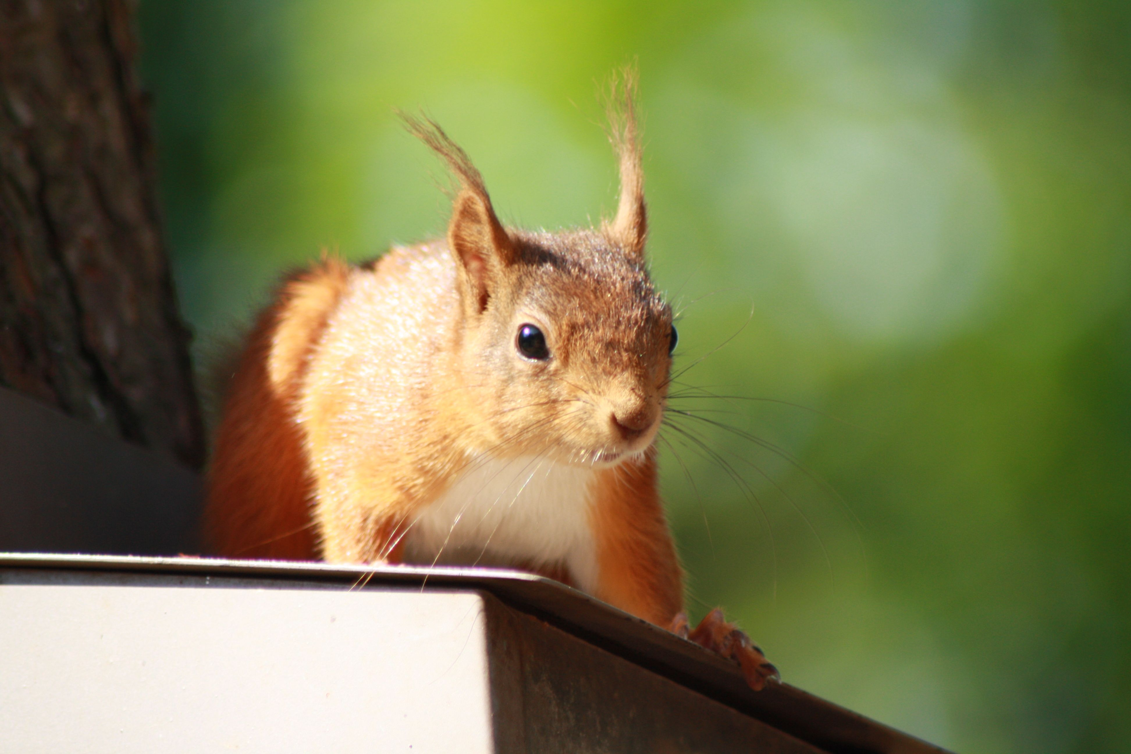 Population numbers are increasing. Red squirrel