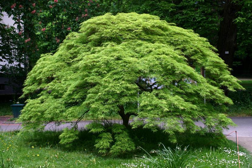 Cultivo Y Cuidados Del Arce Japonés Arboles Para Jardin Acer Palmatum Arce Japones