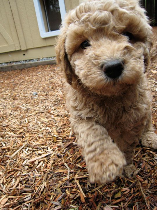 Labradoodle Tag With Images Labradoodle