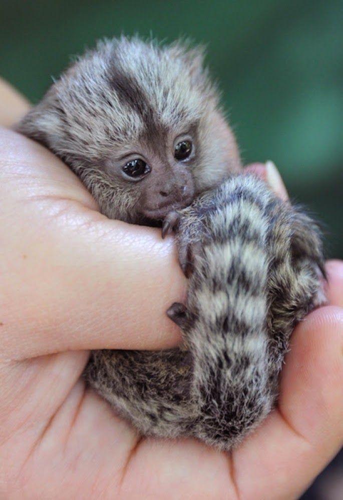 20 Cutest Baby Monkeys Animals Pinterest Cute Animals Baby
