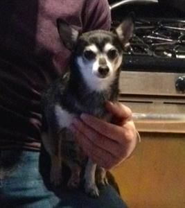 Lost Dog Chihuahua Toronto On Canada Lost And Found Pets