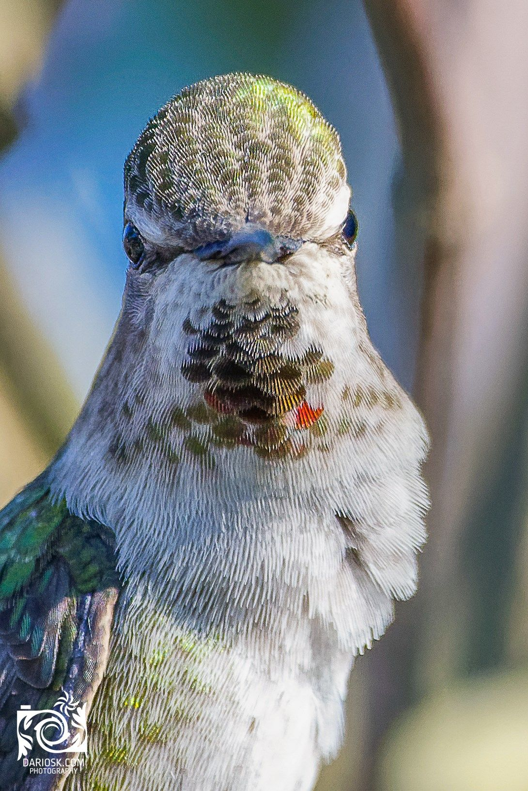 Annas hummingbird looking at you, Richmond, BC, Canada