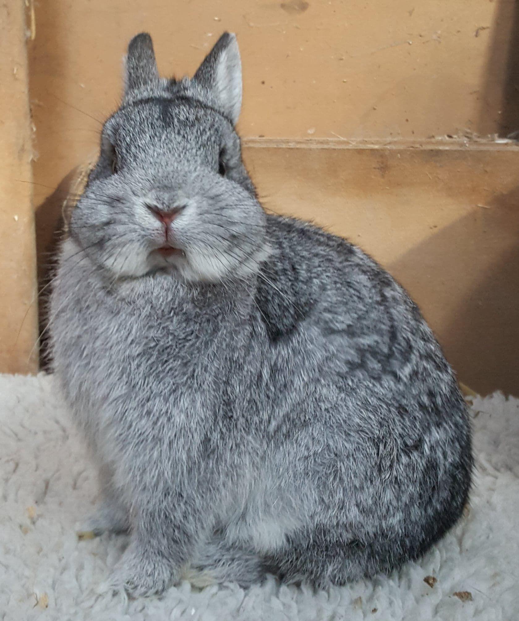 Not For Sale Ludimar Netherland Dwarfs Uk Netherland Dwarf Animals Dwarf Rabbit
