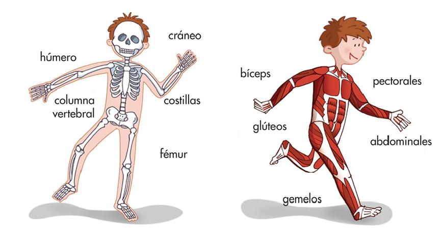 huesos y músculos del cuerpo humano   cuerpo   Pinterest