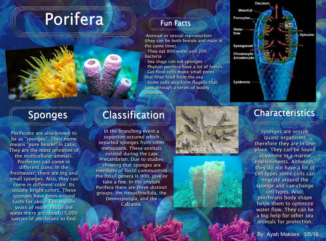 34 Zoology Porifera Ideas Zoology Sponges Biology [ 960 x 1300 Pixel ]