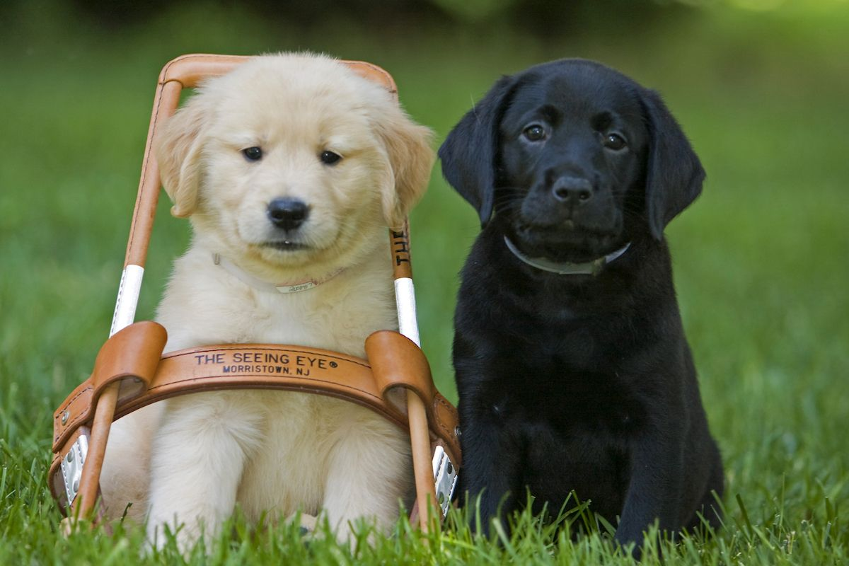 The World S Oldest Guide Dog School Turns 90 Dog School Guide