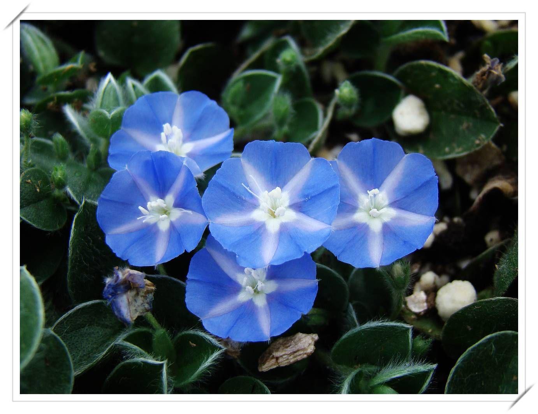 (花) 本種植物土丁桂又稱為「人字草」 觀其葉對生的模樣就像是「人字」般一路延伸 其他別名則以該植物的 ...