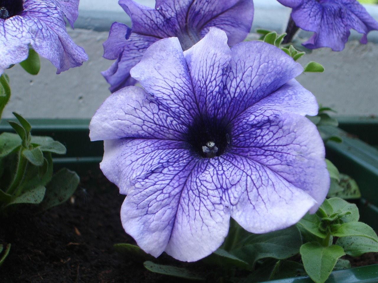 Free Image On Pixabay Petunia Flower Purple Bloom Petunias Petunia Flower Purple Petunias