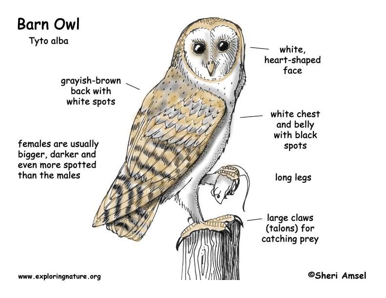 Barn Owl Diagram | Outdoor Science School  Activities for in the Classroom | Owl, Owl facts